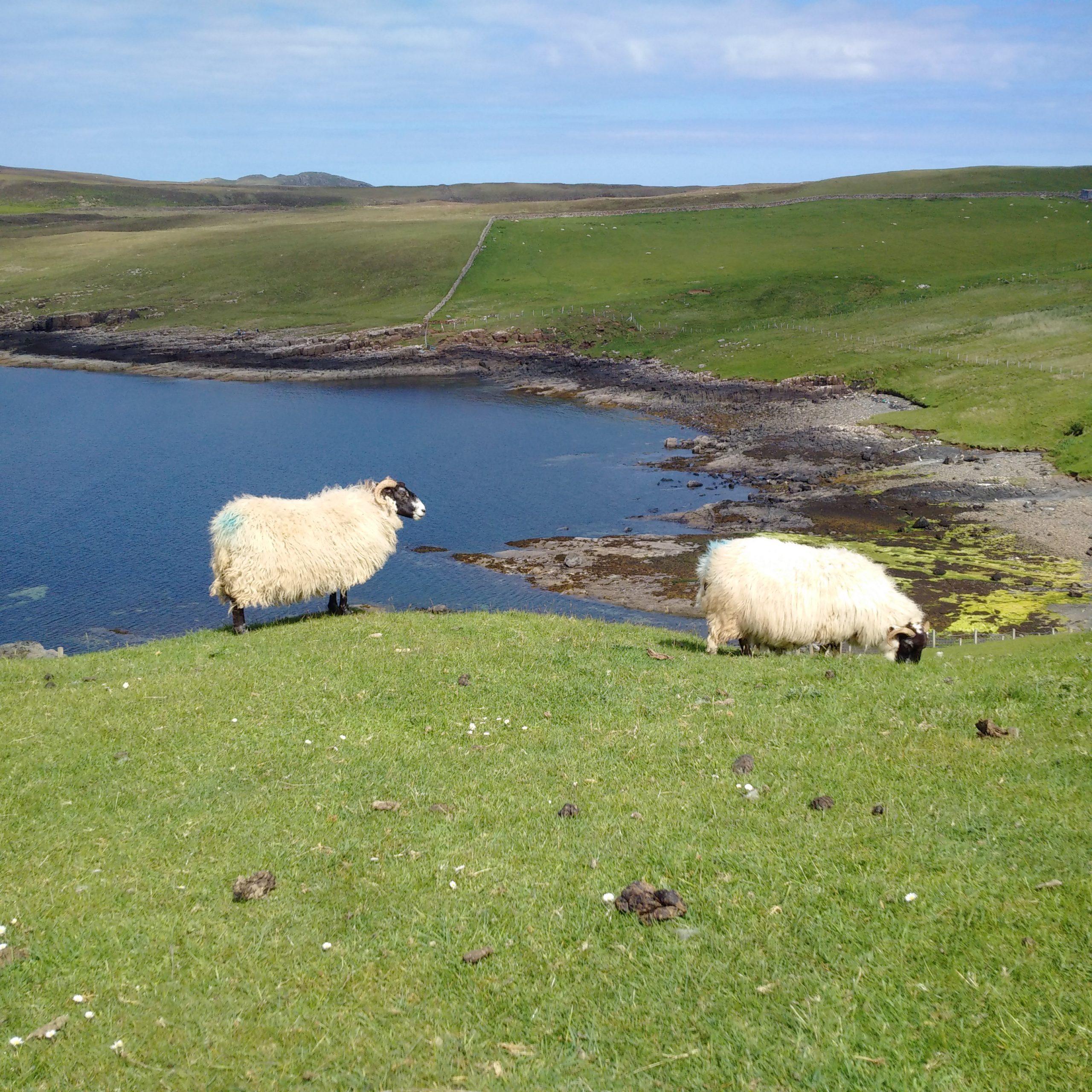 sheep on Skye